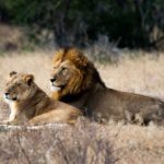 Lion and Lioness on Safri