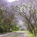 Blooming Jacarandas Pretoria