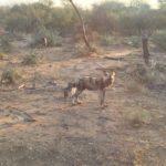 wild dog sunset
