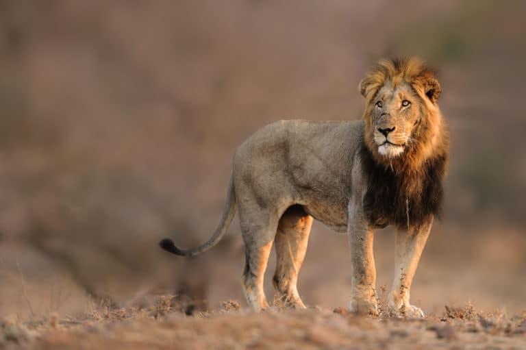 Singita-Sweni-Lodge-Wildlife1